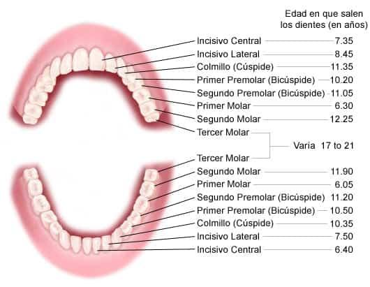 Edad a la que salen dientes permanentes
